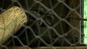 Filmede du chimpansernes slagsmål? - Zoo vil gerne i kontakt med dig