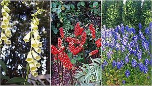 Her er de giftigste blomster i naturen - sådan kender du dem